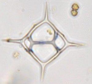 Dictyocha fibula var. rhombica