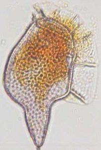 Dinophysis caudata var. pediculata
